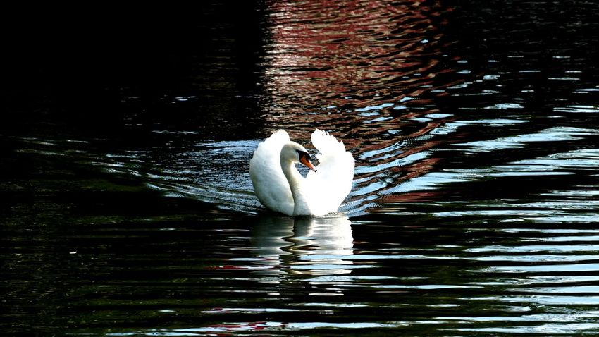 Capture The Moment Swan Pound Beautiful View Gorky Park EyeEm Nature Lover Berds Beaytu Nature's Diversities