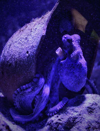 Octopus Amfora