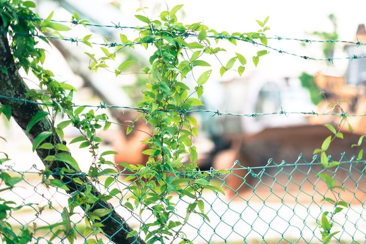Adapted To The City Singapore Nature Fence Construction Site Creeper Plant Plant Leaf Nature Green Color Shallow Depth Of Field