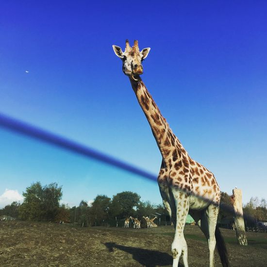 Hi there! Giraffe Animals In The Wild One Animal Mammal Animal Wildlife Safari Animals Herbivorous Blue Day No People Nature Standing Outdoors Field Animal Markings Grass Full Length Sky Beekse Bergen