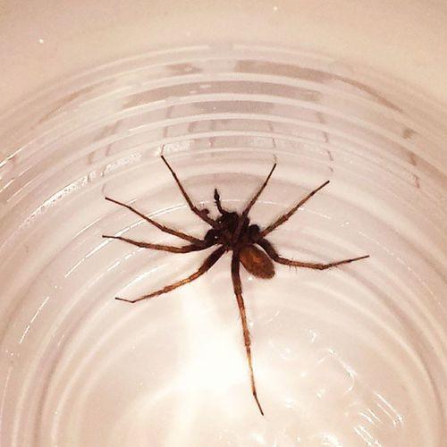 I caught this Lil bastard watching me pee. I call him Herbert. (: Spider Yuck Somuchnope