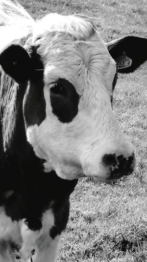First Eyeem Photo Cow Black And White Photography Ireland Cattle Animals Country Life Farm Fields Cows Grazing Grazing First Eyeem Photo