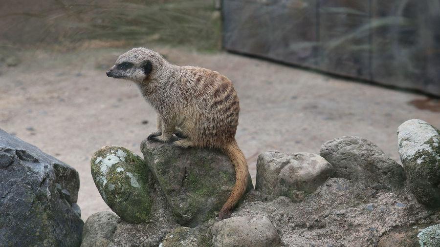 View of giraffe sitting on rock