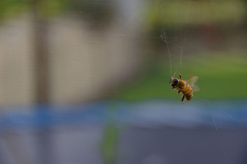 Close-up of bee stuck in spider web