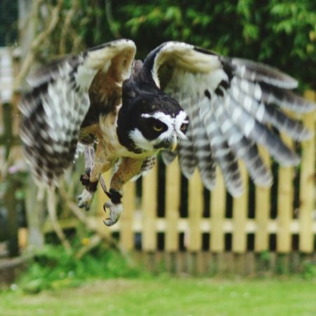 Capturing Movement Birds_collection Bird Photography Bird Of Prey Nature Photography Birds In Flight Falconry Display Hunter Spectacled Owl Owl In Flight. Fast Shutter Speed Wings In Flight
