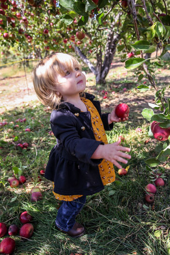 Picking Apples Childhood Child Food One Person Fruit Apple - Fruit Standing Blond Hair Innocence Outdoors Picking Apples Fall Little Girl