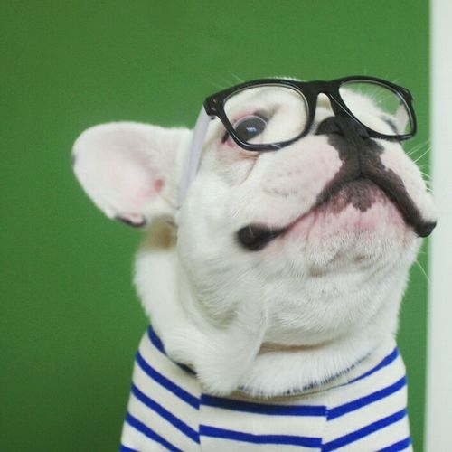 French Bulldog Dog Portrait Close-up No People Colored Background Indoors  One Animal Animal Day Glasses 眼鏡