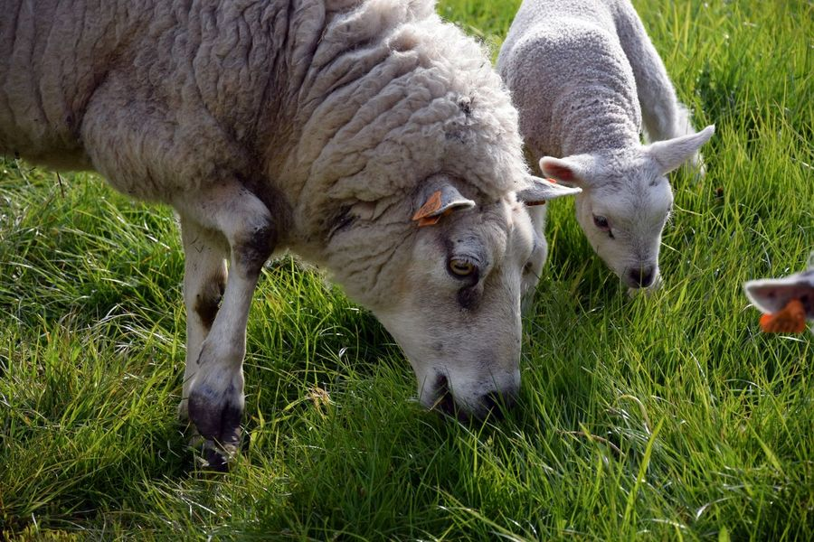 Animal Themes Close-up Day Domestic Animals Field Grass Grazing Livestock Mammal Nature No People Outdoors Sheep Young Animal