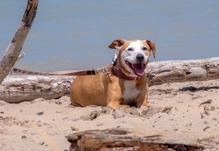 A happy dog hangs out on the beach, enjoying a summer's day