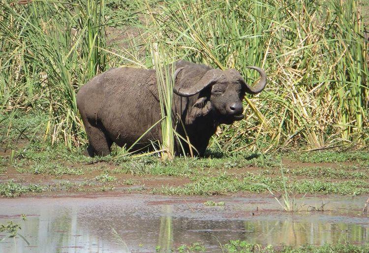 Animal Themes Animals In The Wild Nature Mammal American Bison Water Buffalo Africa Wildlife & Nature Safari