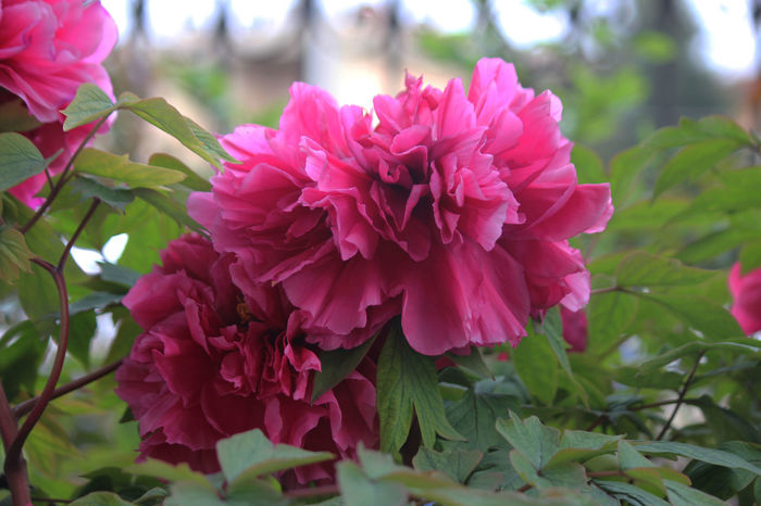 Beauty In Nature Flower Freshness Giardino Nature Peonia Pink Color Plant