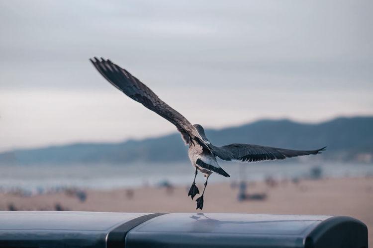 Bird Taking Off At Santa Monica Pier