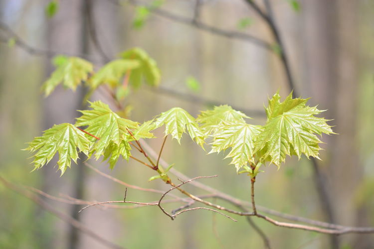 Plant Growth Focus On Foreground Green Color Close-up Tree Beauty In Nature Nature Day No People Tranquility Branch Outdoors Plant Part Leaf Selective Focus Twig Coniferous Tree Sunlight Pine Tree