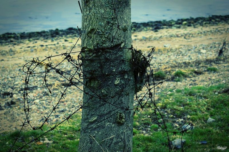 #barbedwire Beauty In Nature Close-up Day Growth Nature No People Outdoors Tree Tree Trunk