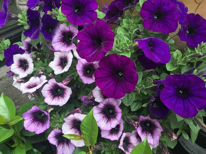 Beautiful Spring Summer flowers in full bloom Beauty In Nature Blooming Close-up Day Flower Flower Head Fragility Freshness Garden Garden Center Growth Nature No People Outdoors Petal Petunia Plant Purple