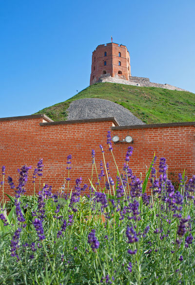 Gediminas' Tower or Castle, the remaining part of the Upper Castle in Vilnius, Lithuania with lithuanian flag waving on a green hill and blue sky photographed from a garden with lavender Baltic Beautiful Castle Gediminas Gediminas Castle Gediminas Tower Holiday Lithuania Lithuanian Flag Travel Vilnius Architecture Blue Sky Building Building Exterior Built Structure Day Green Hills Hill History Lavender Medieval Outdoors Sky Tower