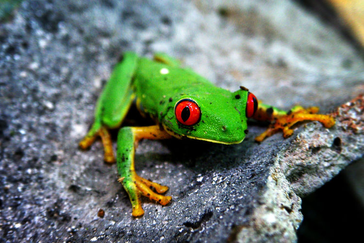 Green frog with red eyes on ancient mayan ceramics Animal Photography Animal Themes Ceramics Forest Frog Frog Eyes Green Green Green Green!  Jungle Nature Red Color Red Eyes