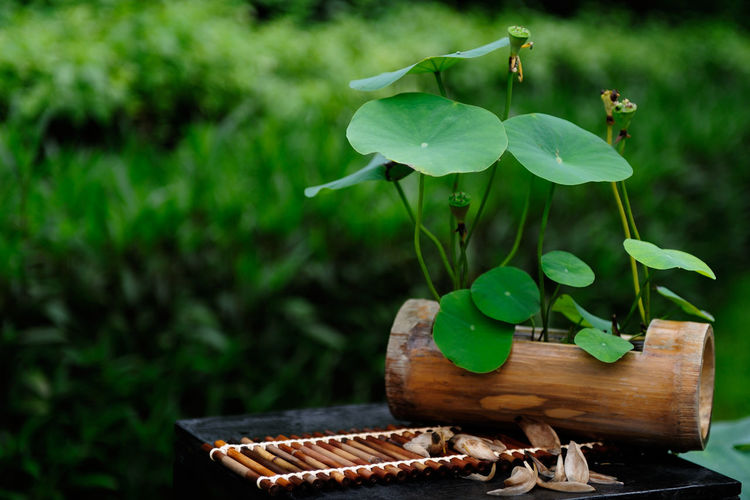 Lotus water lily plant growing on wood over metal