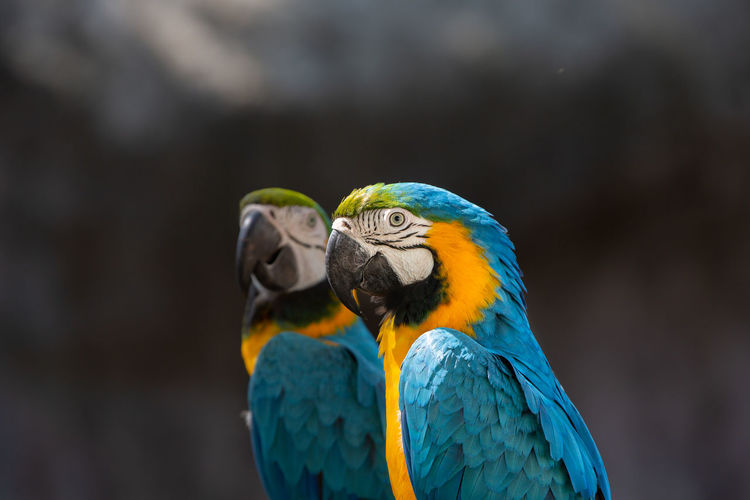 Closeup parrots Parrot Animal Animal Wildlife Bird Animal Themes Vertebrate Animals In The Wild Macaw Gold And Blue Macaw Blue Focus On Foreground Close-up No People One Animal Beak Day Beauty In Nature Nature Outdoors Animal Head  Turquoise Colored