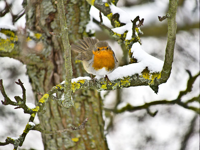 Robin Bird Animal Themes Animal Wildlife Animals In The Wild Beauty In Nature Bird Branch Close-up Cold Temperature Day Focus On Foreground Nature No People One Animal Outdoors Perching Robin Robin Redbreast Snow Tree Winter
