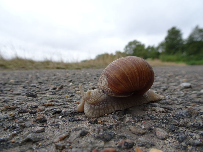Roman snail /