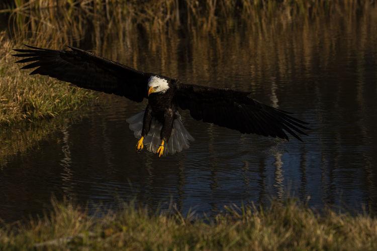 A trained bald eagle in flight, haliaeetus leucocephalus.