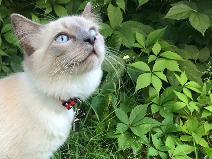 Ragdoll Cat Animal Animal Themes One Animal Domestic Pets Mammal Domestic Animals No People Facial Expression Domestic Cat