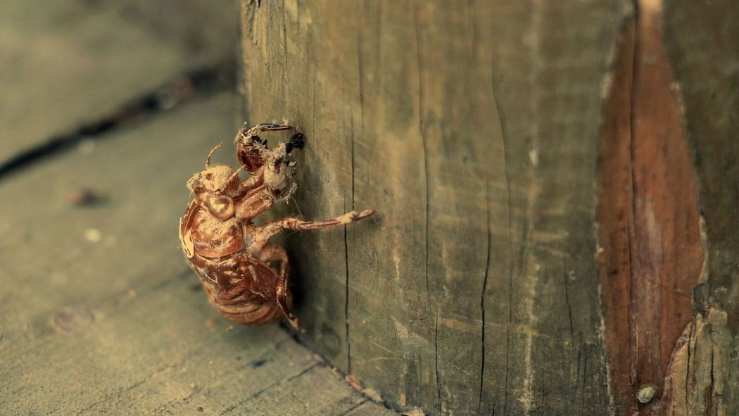 A Moment In Time A Moment Of Zen... Animal Animal Themes Animal Wildlife Beauty In Nature Brown Cicada Cicada's Shell Insect Life Nature New Life New Life Begins Shell Wildlife Wood - Material Wooden Yellow Zen Zoology 命 蝉 Insects  Insect Macro  Summer In The City