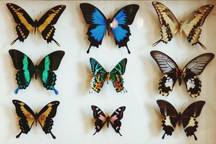 Butterflies on display. Butterflies Specimen Things Organized Neatly Colorful Insects  Cabinet Of Wonders Cabinet De Curiosités Beautiful