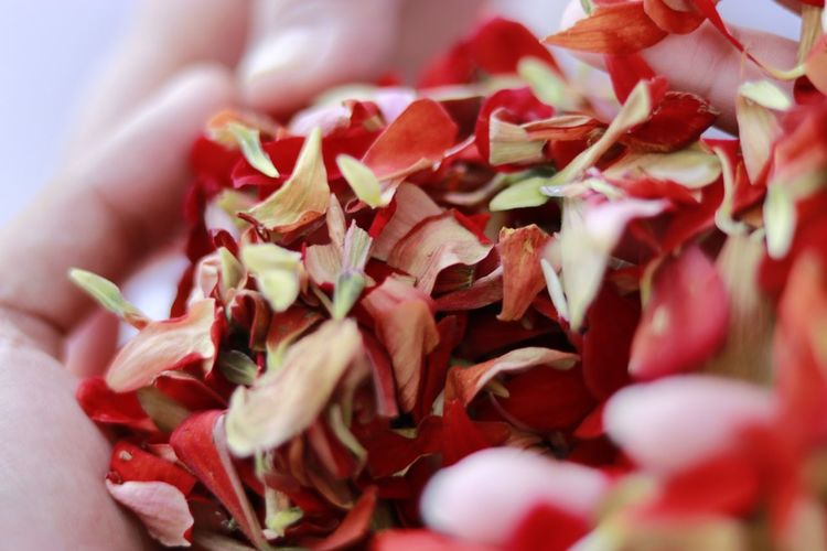Close-up of red chili flowers