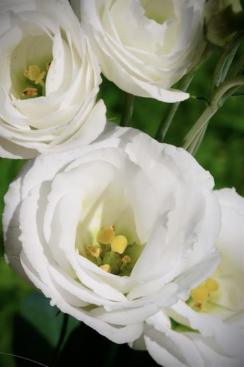 Close-up of white rose bouquet in park