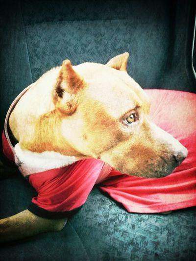 Dog Pitbull Bestfriend