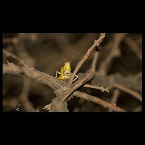 جرادة قبصة حشرة كاميرة سوني camera sony sonya57 فيضة الصريف القصيم السعودية ksa Saudi photo photography focus capture insect insects