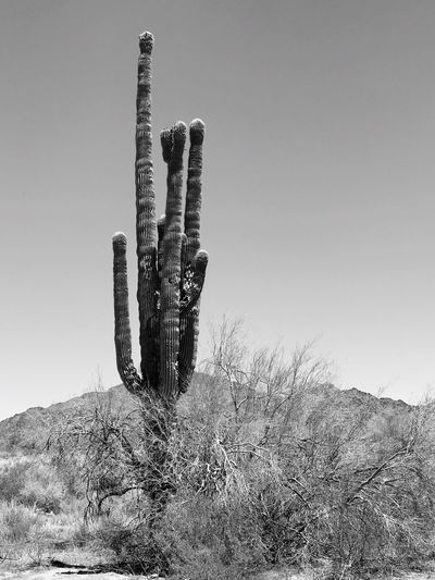 Cactus in desert against clear sky