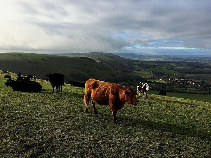 Mammal Animal Themes Animal Domestic Animals Domestic Pets Livestock Field Cattle Grass Landscape