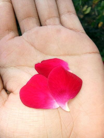 Rose Petals Freshness Nature In Hands