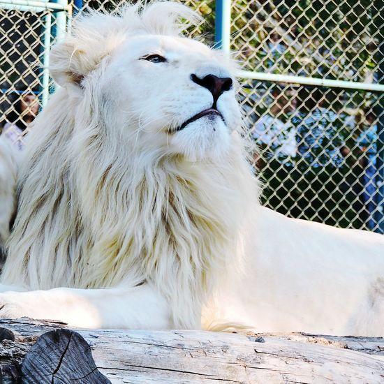 White lion enjoying the sun