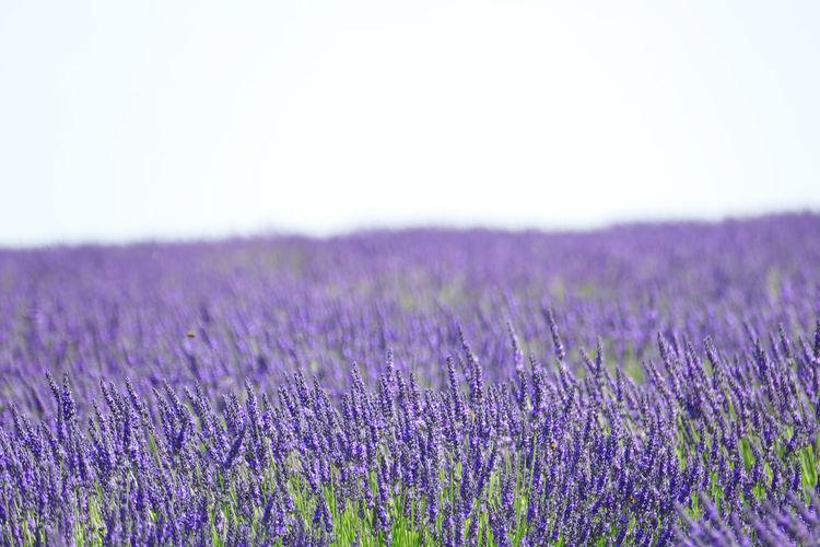 'Lavender IV'