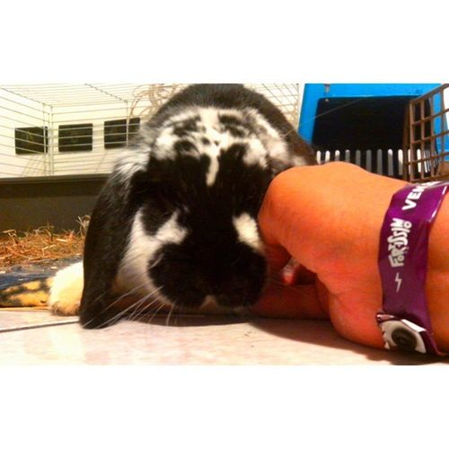 Coniglio Coniglioariete Rabbit Bunny  pet instarabbit bunnies rabbitsworldwide rabbits pets rabbitsofinstagram