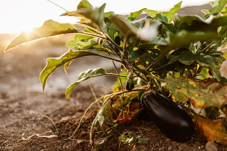 Close-up of eggplants growing in garden