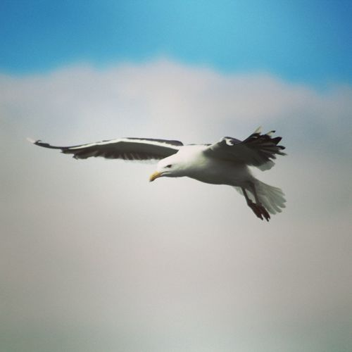 Mås Bird Flying Spread Wings Sea Life Clear Sky Sky Animal Themes Bird Of Prey Seagull Sea Bird Perching