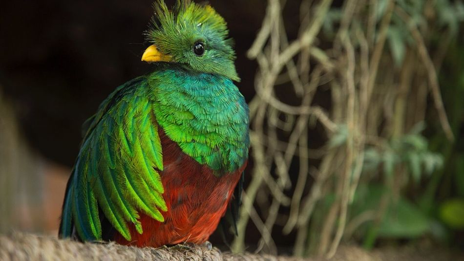 Quetzal Bird Animals In The Wild Green Color Beauty In Nature One Animal Nature