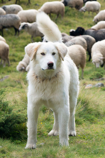 A shepherd dog in a tenderness moment with the sheep he guards. concept Mammal Domestic Animals Animal Themes Pets Animal Domestic Dog Canine Vertebrate Grass Group Of Animals Plant White Color Field Portrait Land No People Day Focus On Foreground