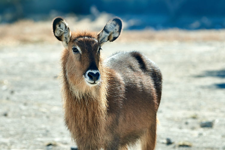 Portrait of a defassa waterbuck standing on land