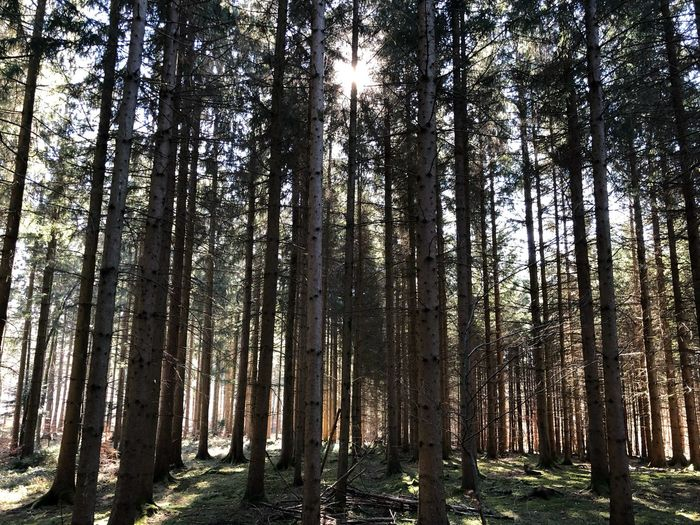 forest EyeEm Selects Tree Forest Plant WoodLand Trunk Tree Trunk Land Tranquility Beauty In Nature Sunlight No People Sunbeam Sky Scenics - Nature Nature