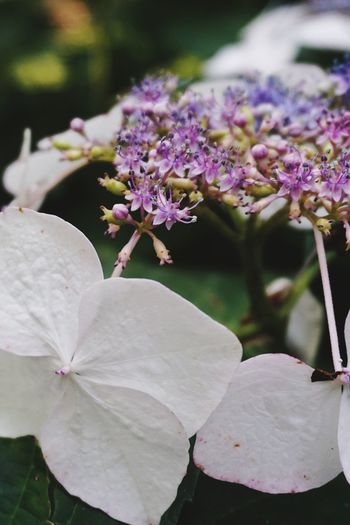 Lacecap hydrangea, white Flower Growth Beauty In Nature Petal Day Freshness Close-up Nature Outdoors Plant Live For The Story The Great Outdoors - 2017 EyeEm Awards EyeEmNewHere