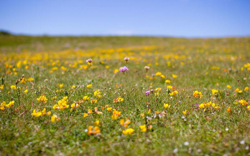 Flowers in Herm Herm Island Wild Flowers