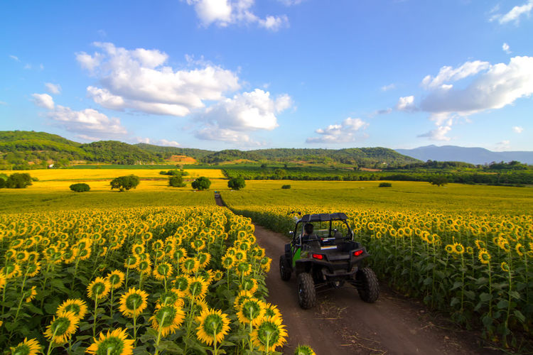 beautiful Sunflowers field in Thailand Landscape Flower Sky Field Yellow Land Plant Agriculture Rural Scene Scenics - Nature Environment Flowering Plant Cloud - Sky Beauty In Nature Farm Growth Land Vehicle Mode Of Transportation Nature Transportation Outdoors
