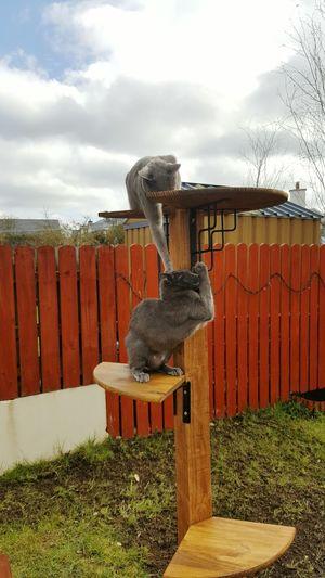 Playingcats Catsplaying Silvercat Russischblau RussianBlue Russianblues Azulruso Gats Rosyjskiniebieski Russianbluecat Gatos ロシアンブルー Kot Kotek Greeneyes
