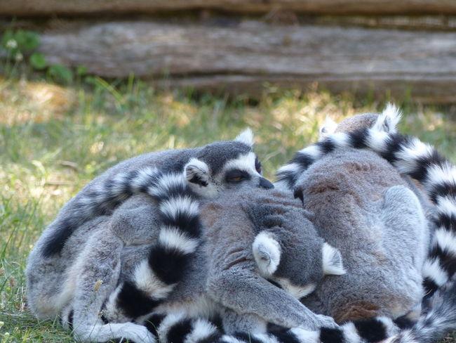 Siesta Animal Themes Close-up Lemur Outdoors Sleeping Lemur Togetherness